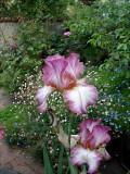 Bearded Iris with Santa Barbara Daisy in the background