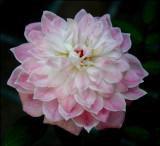 Miniature Rose...Pink Poodle