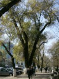 Typical tree lined Almata street