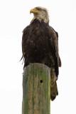 3/3/2009  Bald Eagle