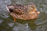 1/7/2010  Duck