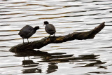 1/12/2010  American Coots