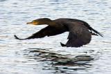 1/13/2010  Cormorant