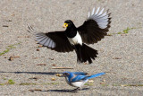 3/4/2010  Magpie and Jay