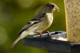 4/7/2010  Goldfinch at my bird feeder