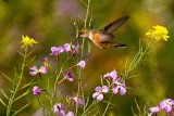 4/15/2010  Hummingbird