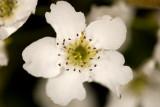 4/16/2010  Asian pear blossom