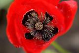 4/25/2010  Greek Poppy