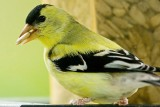 5/10/2010  American Goldfinch at my bird feeder