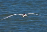 5/11/2010  Tern with fish