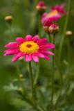 5/19/2010  Argyranthemum frutescens 'Bright Carmine'