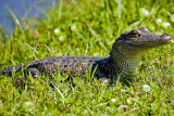 Alligator at Avery Island