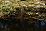 Alligator on Bayou Coquille Trail