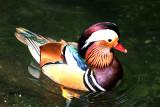 Mandarin Duck, Busch Gardens, Tampa, Florida.