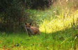 Fox, Cow Pastures. Glapthorn.