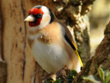 Goldfinch. Barnwell Country Park. Oundle. UK