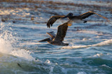 Pelicans and the sea_MG_6388.jpg