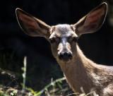 Deer _MG_5398.jpg