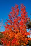 Red tree Blue sky_MG_2716.jpg