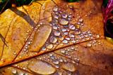 Drops on leaf  _MG_2752.jpg