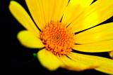 Yellow and orange _MG_2575.jpg