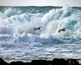Two pelicans in waves.jpg