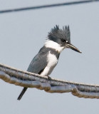 Belted Kingfisher_MG_2417.jpg