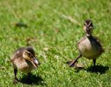 Angry little ducks _MG_8787.jpg