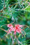 Pic 1 - Pink Grevillea