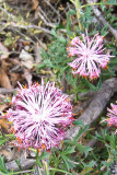 Pic 2 - Isopogon spp