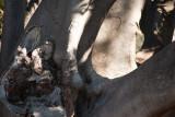 Moreton Bay Fig - After