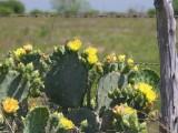 Cactus Near the Fence