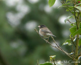 Junco Serenade