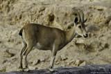 Yael - Nubian Ibex (Yale)