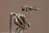 Bombylus  Fly