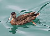 Leigh duck