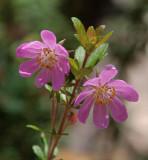 Bauera rubioides