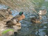 Burnie Park Ducks