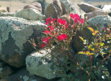 Roses in a drystone wall