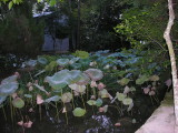 The lotus plant, not in flowering season.  The Japanese buddha always sits on a lotus flower.