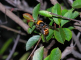 A couple of these HUGE wasps were flying around these bushes. Aki said they were poisonous, not sure if he was joking....