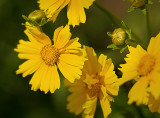 Moonbeam Coreopsis from the Garden