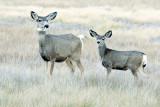 Deer at Bryce Canyon.jpg