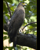 Crested Serpent Eagle - Simlipal