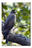 Crested Serpent Eagle, Simlipal national Park