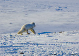 Arctic Fox-003.jpg