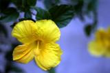 Tropical Hibiscus: Hibiscus rosa-sinensis