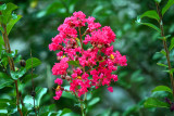 Crapemyrtle:  Lagerstroemia indica