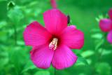 Rose or Swamp Mallow: Hibiscus moscheutos