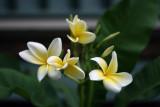 Frangipani: Plumeria alba
